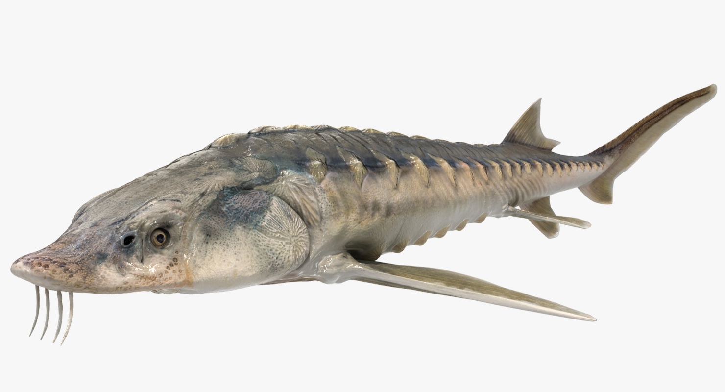 3D sturgeon fish animation model