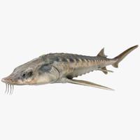 3D sturgeon fish animation model