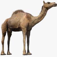 camel fur rig 3D model