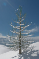3D snow covered pine tree model