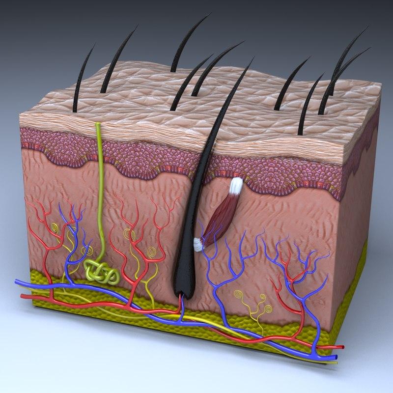 3D Skin Section Modeled