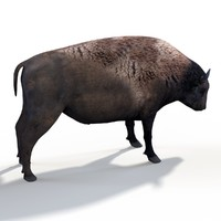 american buffalo animation model