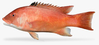3D model california sheephead