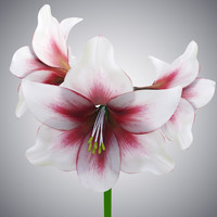 hippeastrum flowers 3D model