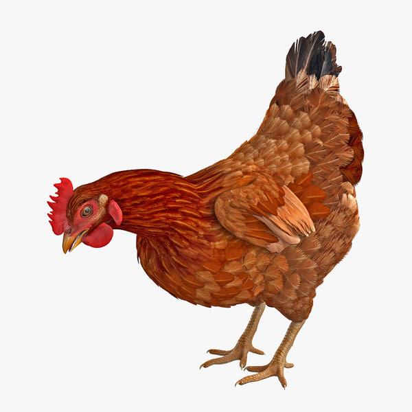 3D brown chicken eating model