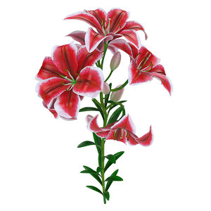 3D tiger pink lily