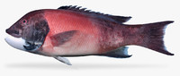3D california sheephead model