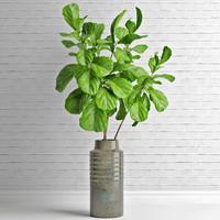 Ficus lyrata in vase