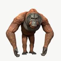 Bornean Orangutan Male