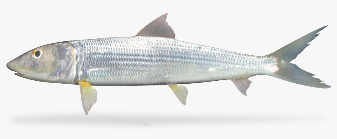 eastern pacific bonefish 3D