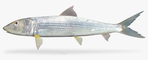 eastern pacific bonefish 3D