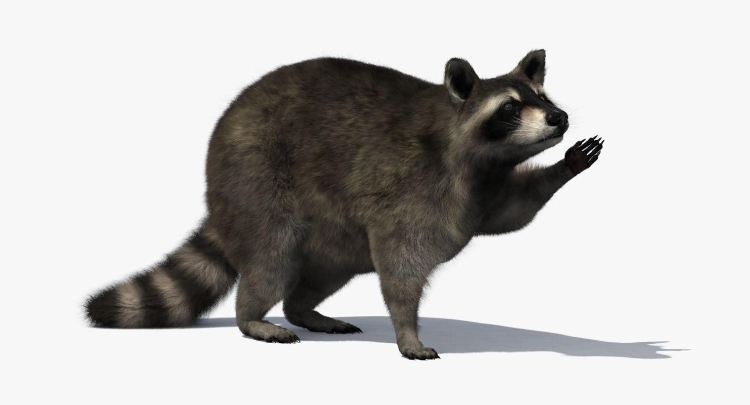 3D raccoon rigged
