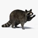 Raccoon 3D models