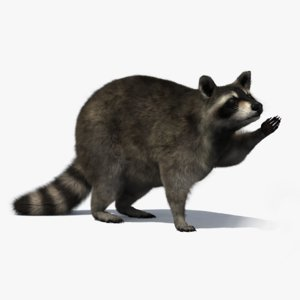 3D raccoon rigged