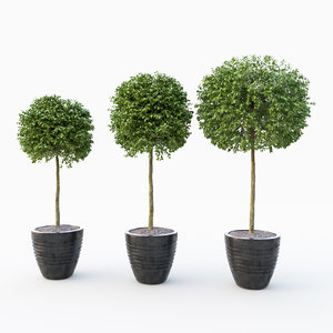 boxwood tree 3D model