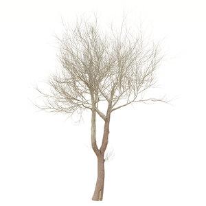 poplar tree 3D