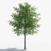 3D linden tree model