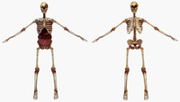 human skeleton internal 3D model