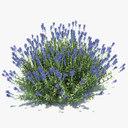 English lavender 3D models