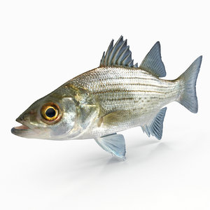 white bass 3D model
