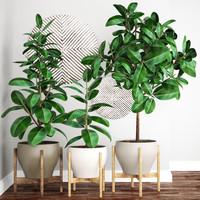 Ficus Robusta tree