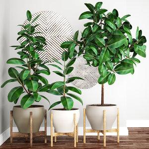 ficus robusta tree 3D