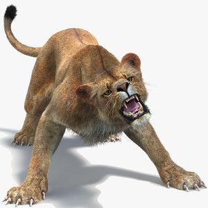 3D lioness 2 fur colors model