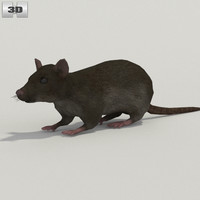 3D rat common