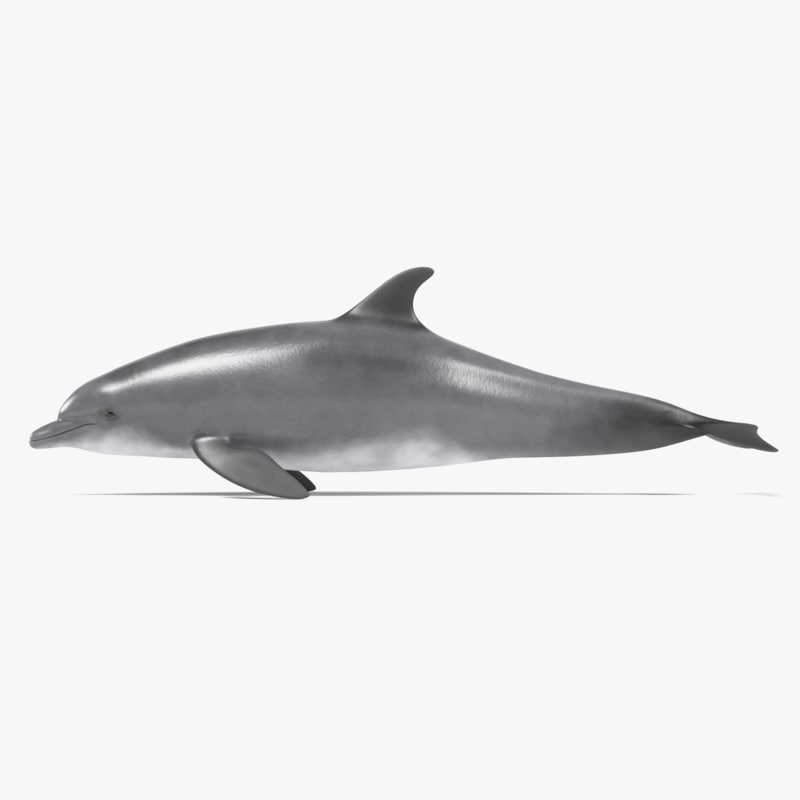 bottlenose dolphin model
