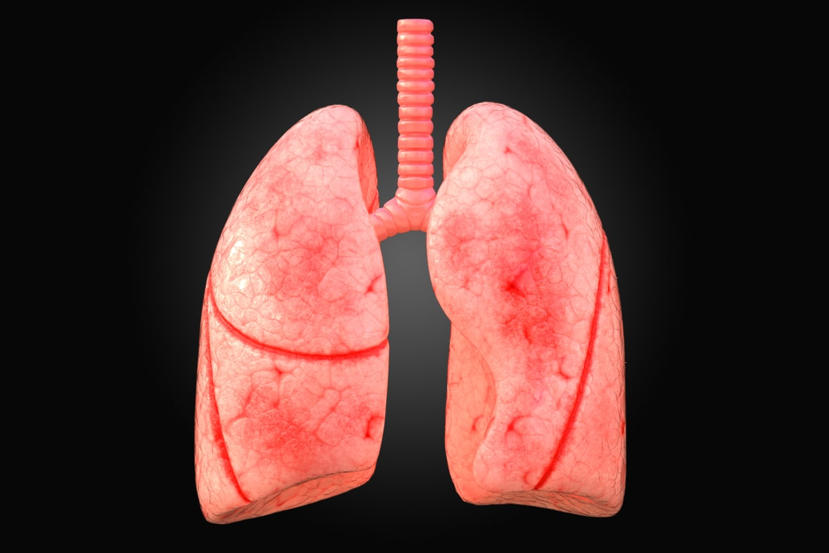 3D model arnold lungs