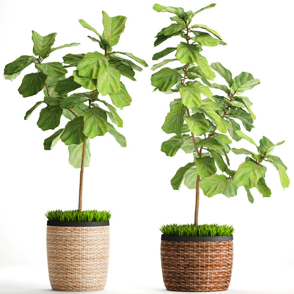 ficus lyrata trees 3D model