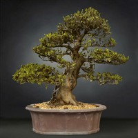 3D bonsai tree satsuki hakurin