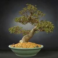 bonsai tree satsuki model