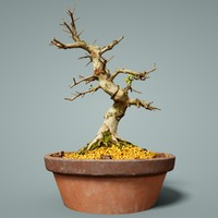 bonsai tree satsuki 3D model
