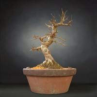 bonsai tree satsuki 3D model