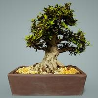 bonsai tree satsuki kinsai 3D