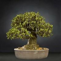 bonsai tree satsuki nikko 3D model