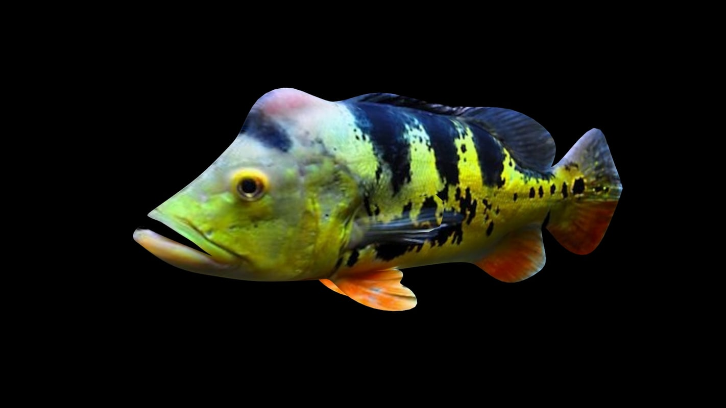 bass fish 3D model