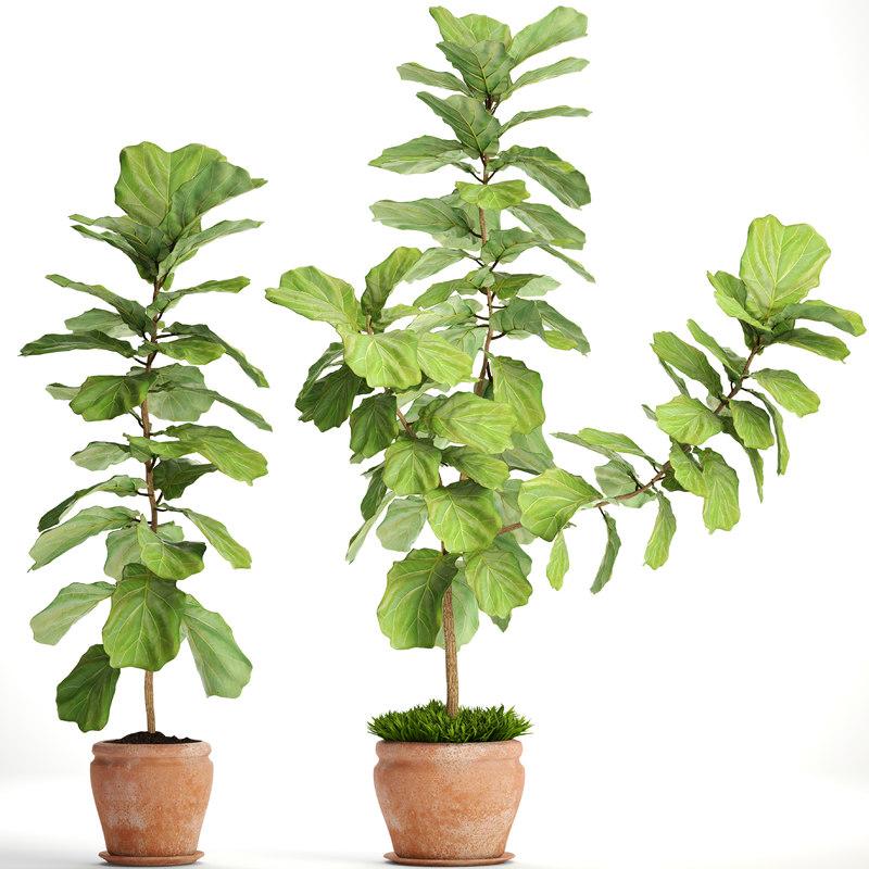 ficus lyrata trees model
