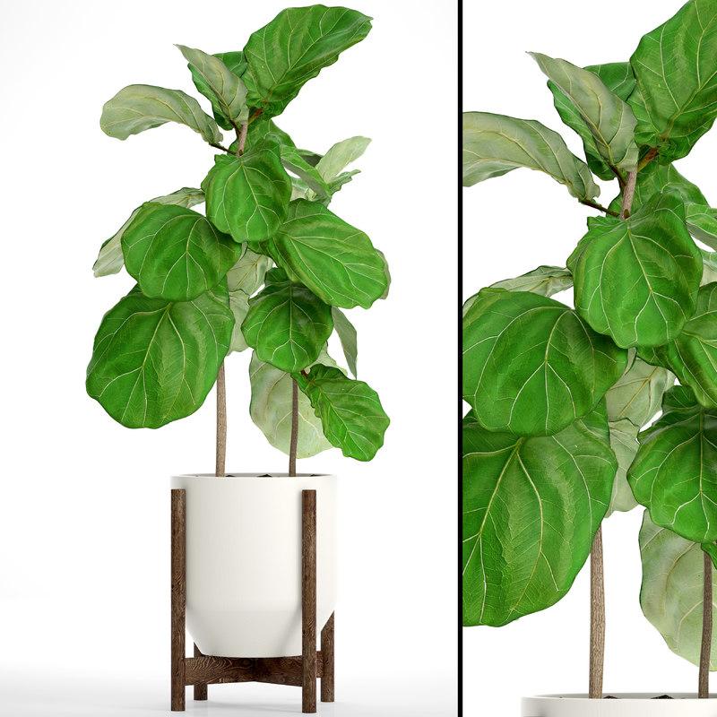 3D ficus lyrata trees