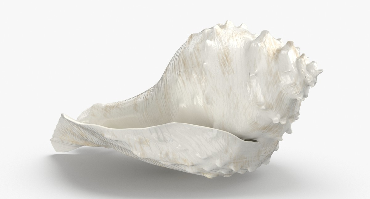 3D conch-shells---shell-02 model