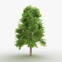 3D tree linden model