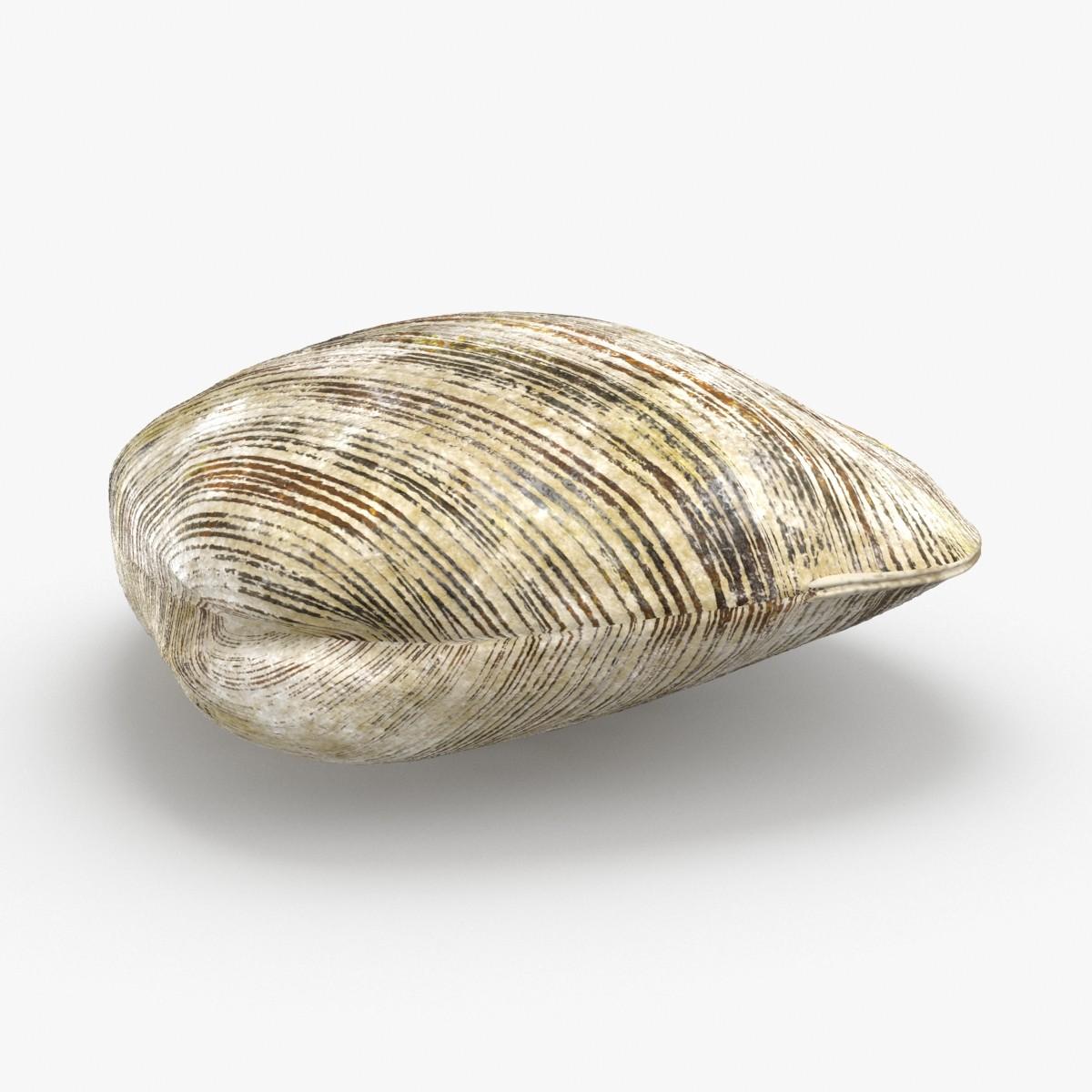 3D clam---clam-02