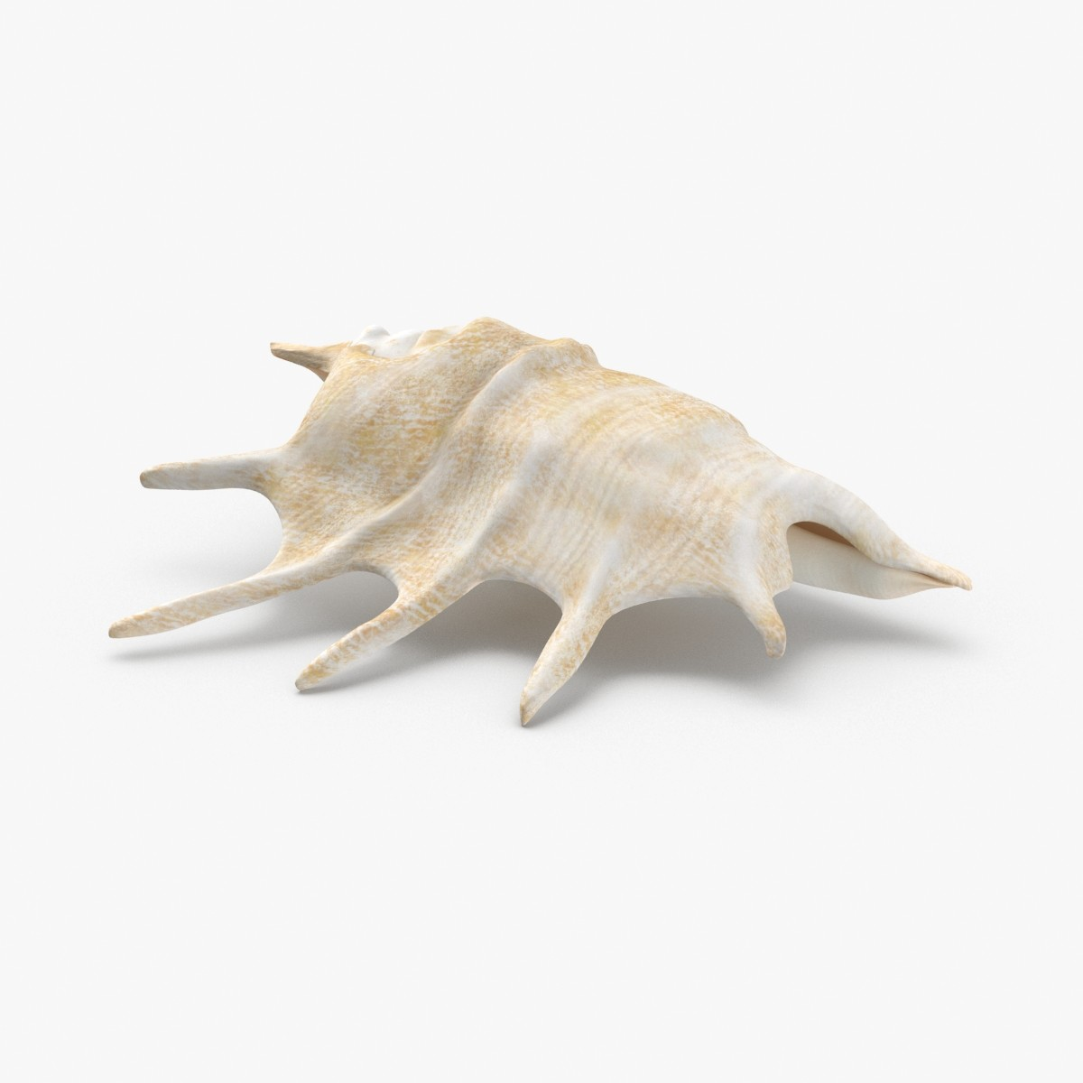 conch-shells---shell-01 3D model