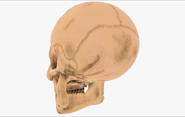 3D realistic skull head
