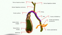 human gall bladder model