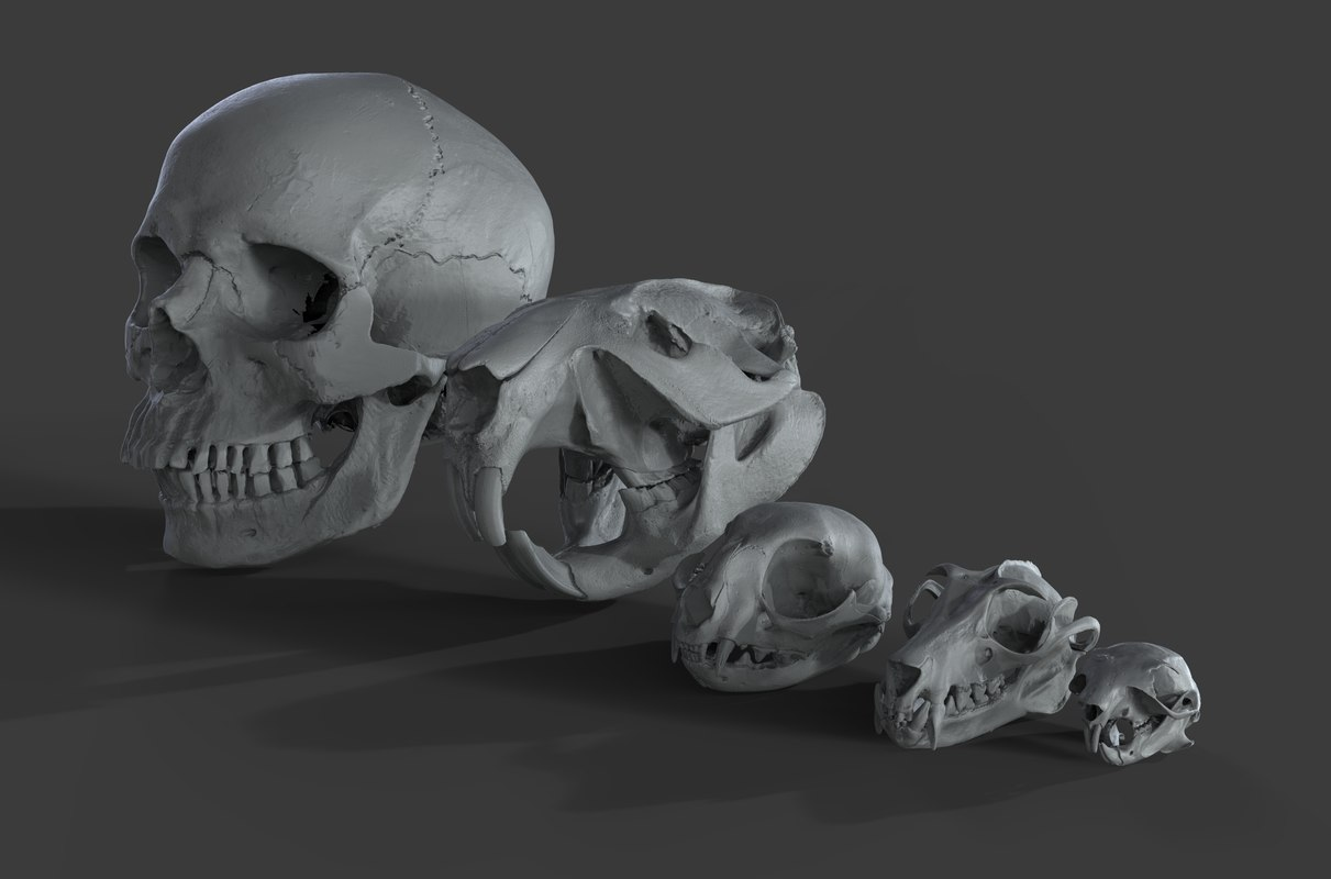 scans skulls 3D model