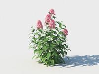 phlox flower 3D
