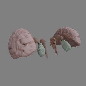 3D brain parts model