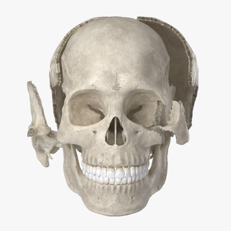 3D model human skull 22 bones anatomy